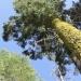 Riesenmammutbäume in Tuolumne Grove (Yosemite National Park)