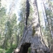 Riesenmammutbaum in Tuolumne Grove (Yosemite National Park)