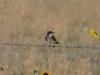Königstyrann (Western Kingbird)