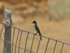 Königstyrann auf Zaun (Western Kingbird)