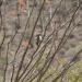 Woodpecker, Sonaran Desert