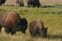 Bison Bulle und Kuh