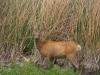 Mule deer (?) im Bear River Migratory Bird Refuge