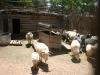 Churros-Schafe
